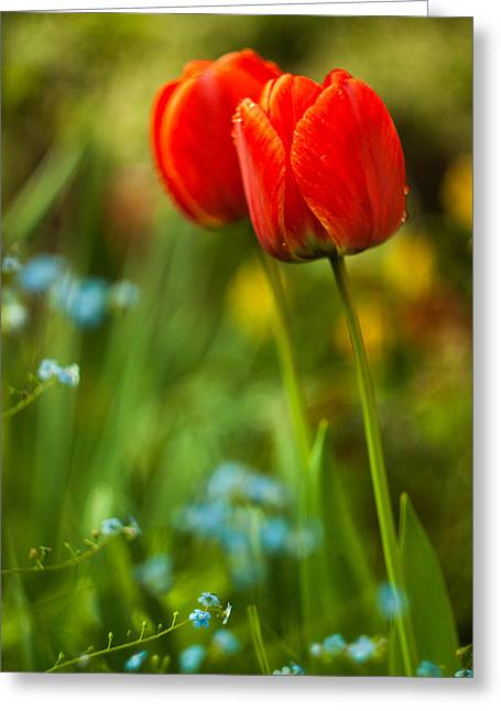 Tulips In Garden Greeting Card