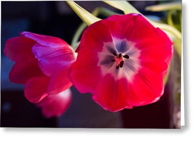 Tulips Mixed Light Greeting Card by Paul Indigo
