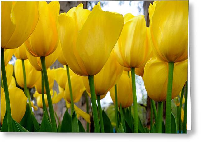 Tulips Of Gold Greeting Card by Sally Nevin
