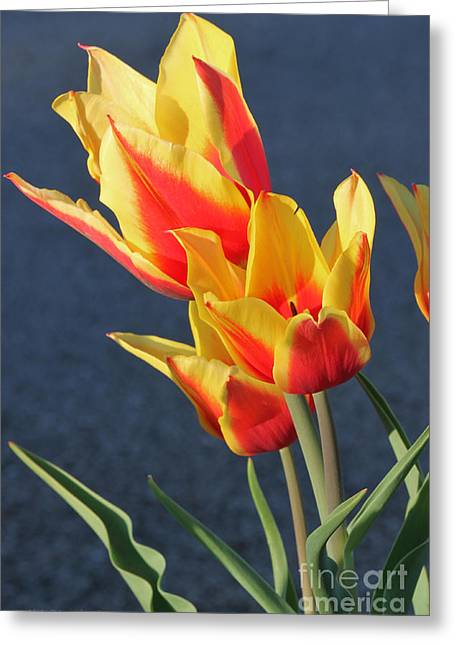 Greeting Card featuring the photograph Tulips by Todd Blanchard