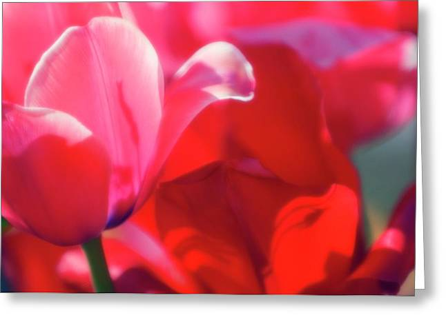 Tulips (tulipa Hybrid) Greeting Card