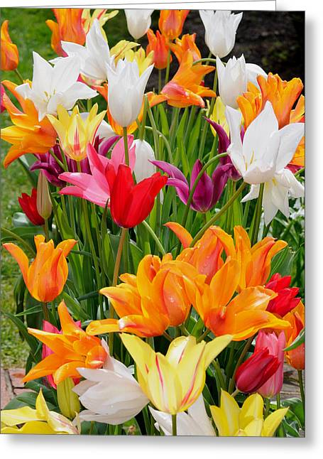 Greeting Card featuring the photograph Tulips Tulips by Haleh Mahbod