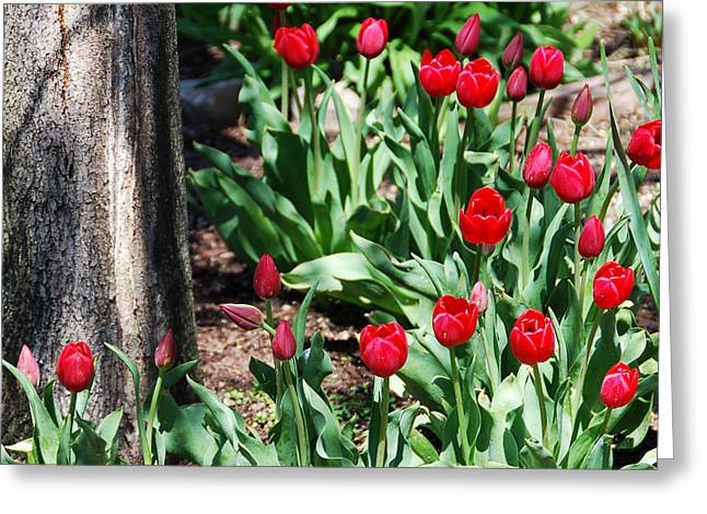 Tulips Under The Tree Greeting Card by Aimee L Maher Photography and Art Visit ALMGallerydotcom
