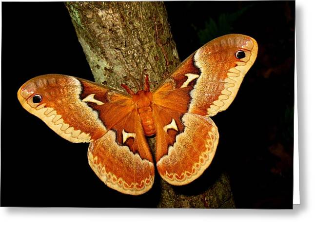 Greeting Card featuring the photograph Tuliptree Silkmoth by William Tanneberger