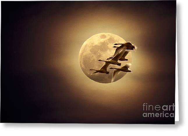 Tundra Swans And Moonglow Greeting Card
