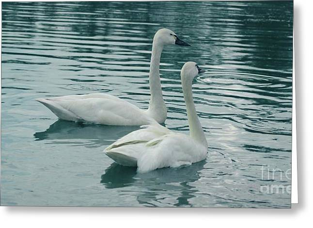 Tundra Swans Greeting Card by Kathleen Struckle