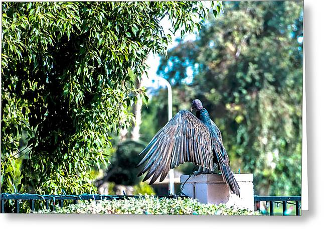 Turkey Vulture 1 Greeting Card by Steve Knievel