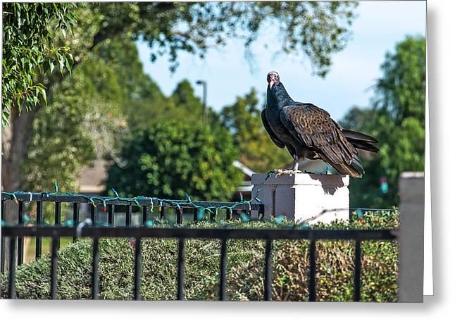 Turkey Vulture 4 Greeting Card by Steve Knievel