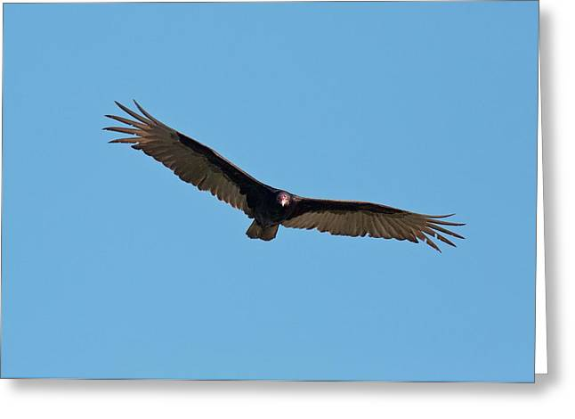 Turkey Vulture (cathartes Aura) In Flight Greeting Card by Bob Gibbons