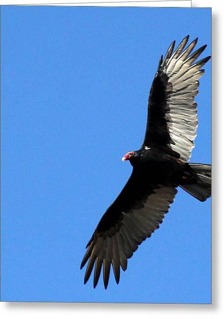 Turkey Vulture In Flight Greeting Card by James Hammen