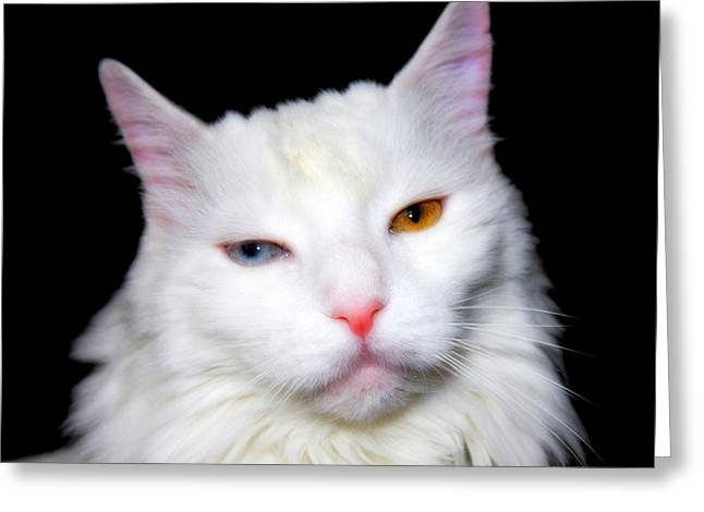 Greeting Card featuring the photograph Turkish Angora by Aurelio Zucco