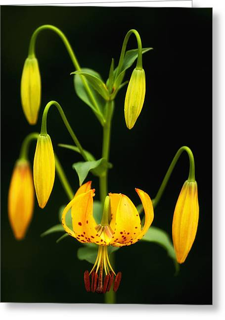 Greeting Card featuring the photograph Turks Cap Candelabra by Photography  By Sai