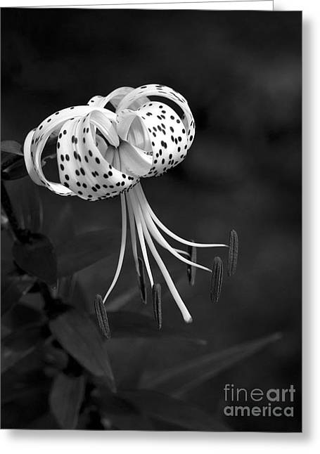 Turk's Cap Lily In Black And White Greeting Card