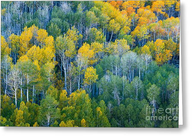 Turning Aspens At Dunderberg Meadows Greeting Card by Alexander Kunz