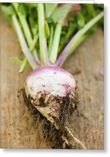 Turnip With Roots And Soil Greeting Card