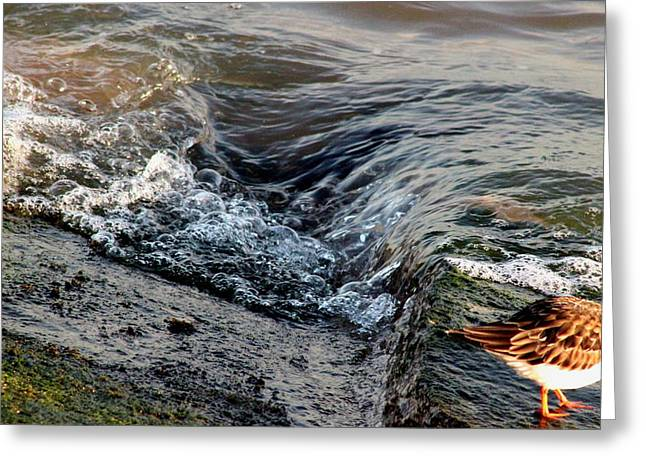 Turnstone By The Water Greeting Card