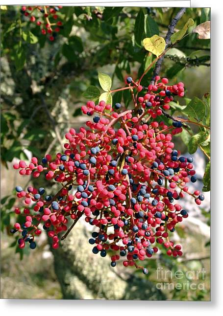 Turpentine Fruit (pistacia Terebinthus) Greeting Card by Martyn F. Chillmaid