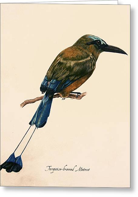 Turquoise-browed Motmot Greeting Card by Rachel Root