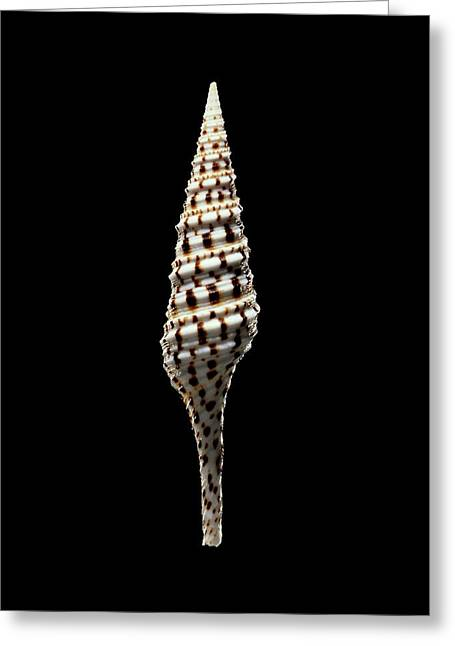 Turrid Sea Snail Shell Greeting Card by Gilles Mermet