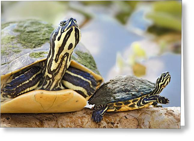 Greeting Card featuring the photograph Turtle Family by Patrick M Lynch