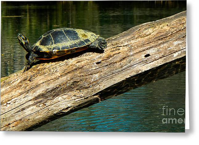 Turtle Sunning On The Log Greeting Card