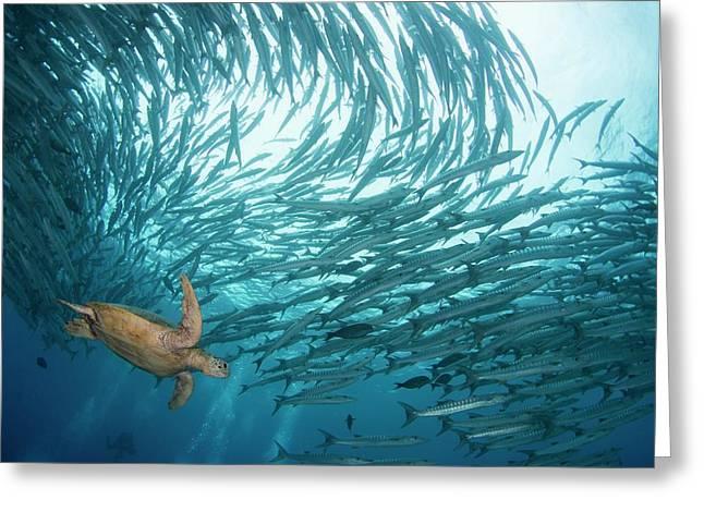 Turtle Swimming Through Barracuda Greeting Card by Scubazoo