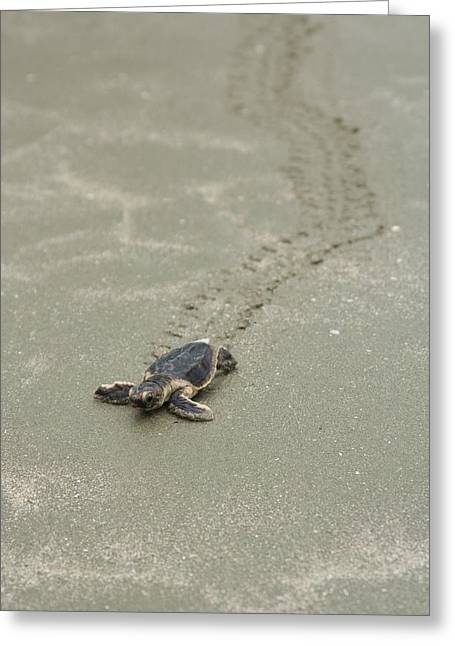 Turtle Tracks Greeting Card by Patricia Schaefer