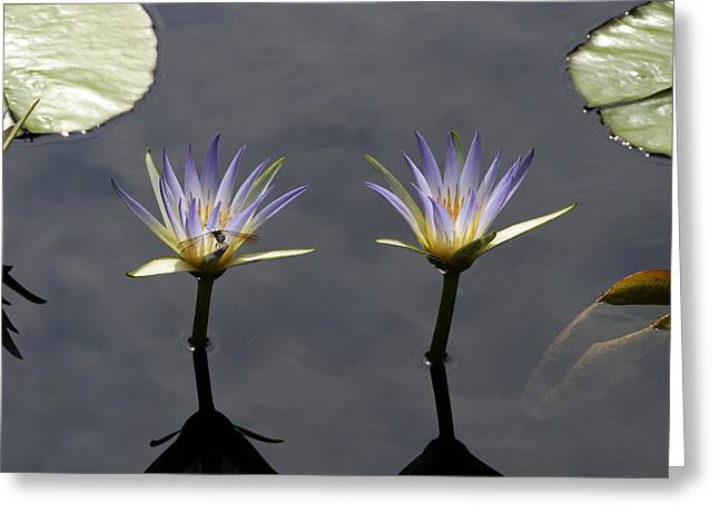 Twin Blue Egyptian Lotus Waterlilies And Dragonfly Greeting Card by Byron Varvarigos