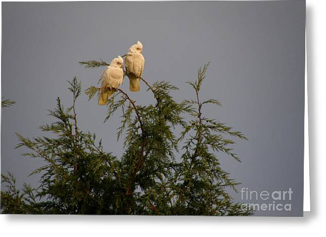 Twin Cockatoos Greeting Card