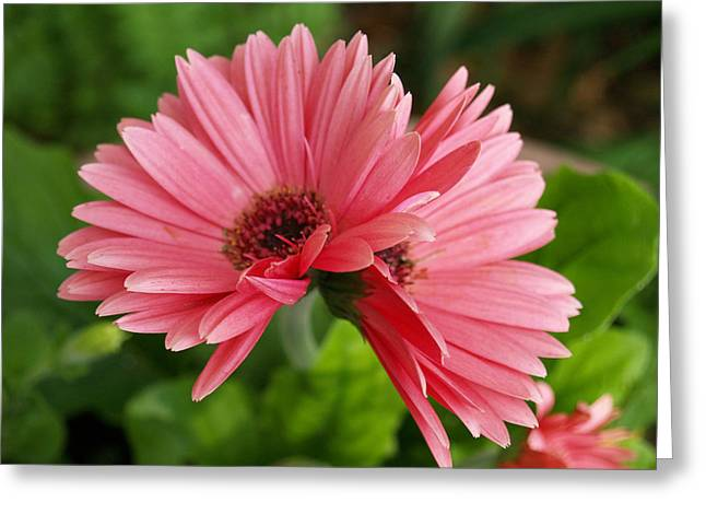 Twin Gerber Daisies Greeting Card by Susan Crossman Buscho