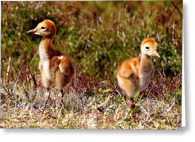 Greeting Card featuring the photograph Twin Sandhill Chicks 000  by Chris Mercer