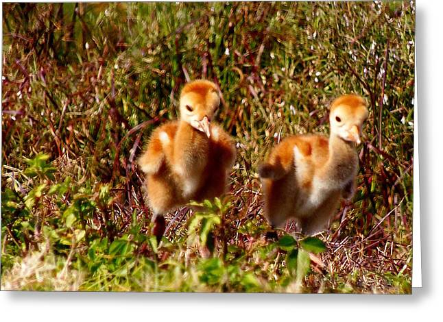 Greeting Card featuring the photograph Twin Sandhill Chicks by Chris Mercer