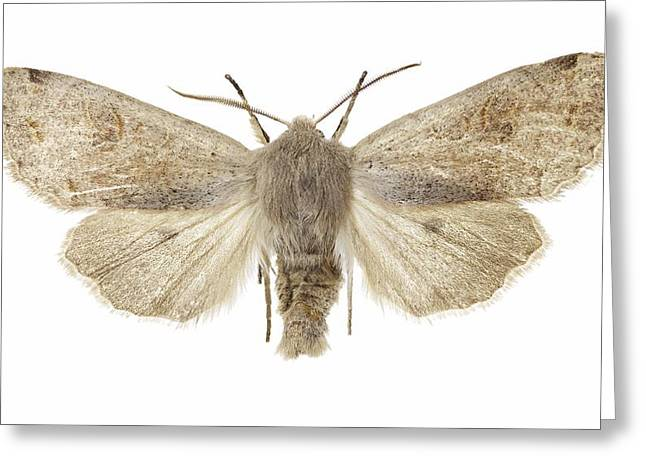 Twin-spotted Quaker Moth Greeting Card by Science Photo Library