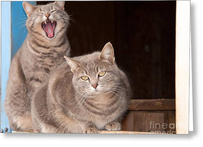 Twin Tabbies Greeting Card