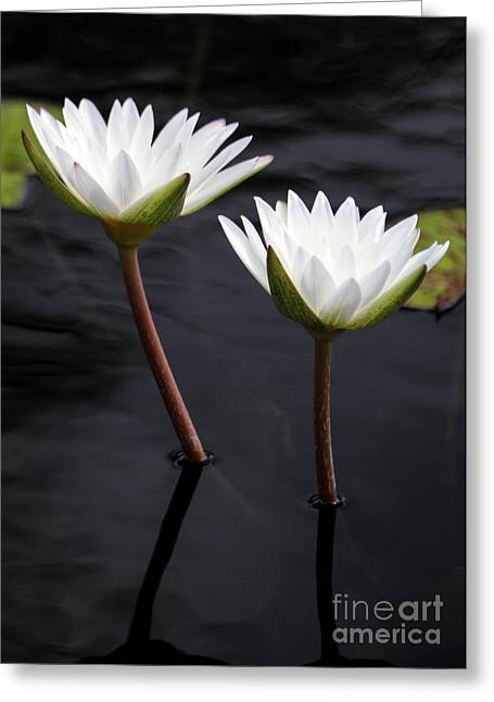 Twin White Water Lilies Greeting Card by Sabrina L Ryan