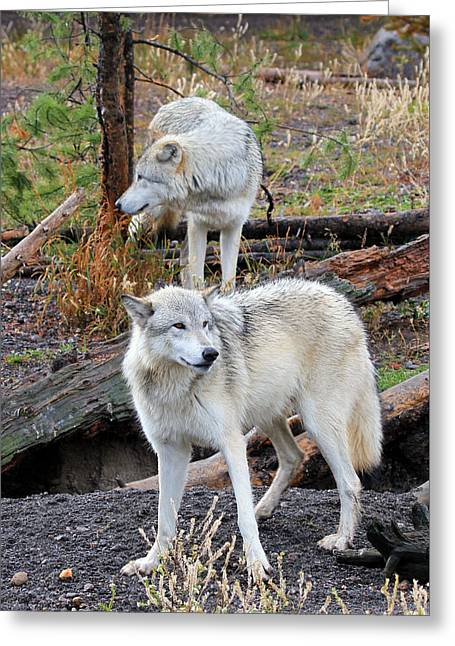 Twin Wolves Greeting Card by Athena Mckinzie