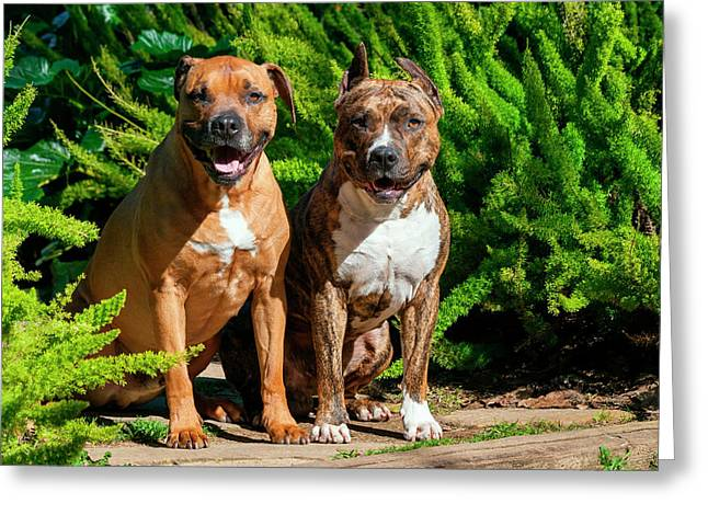 Two American Staffordshire Sitting Greeting Card