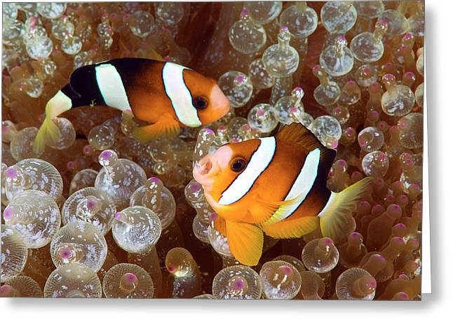 Two Anemonefish Swim Among Poisonous Greeting Card by Jaynes Gallery