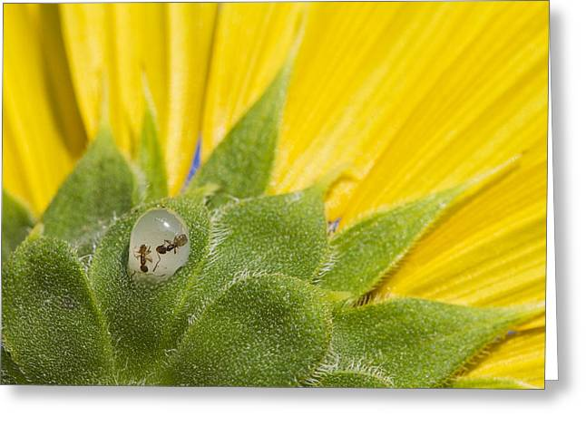 Two Ants Entombed In Sunflower Resin Greeting Card