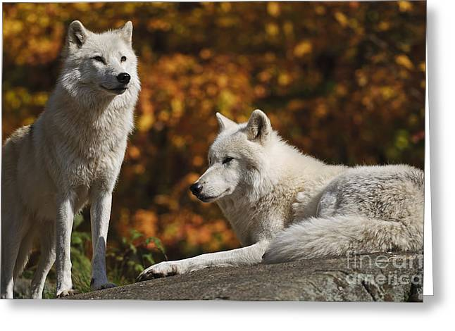 Greeting Card featuring the photograph Two Arctic Wolves On Rock Hill by Wolves Only