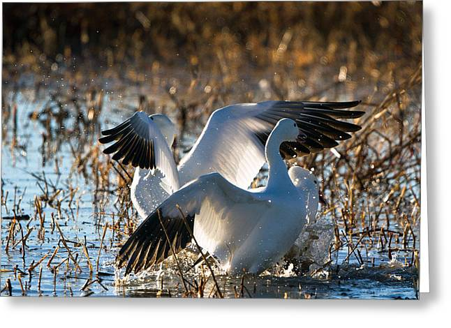 Two Backlit Snow Geese Greeting Card