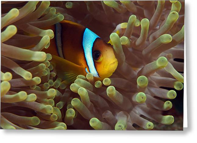 Two-banded Anemonefish Red Sea Egypt Greeting Card by Eric Gibcus