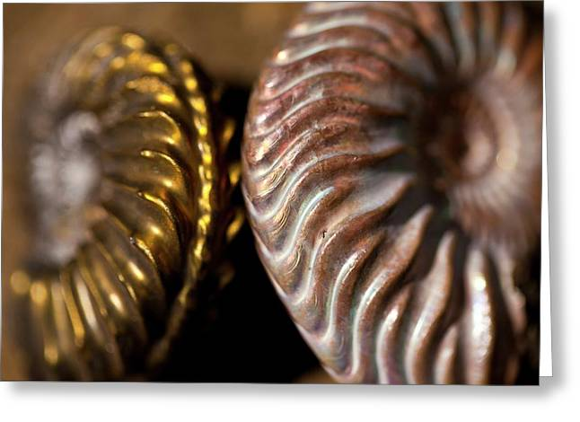 Two Beautiful Jurassic Ammonites Greeting Card by Paul D Stewart