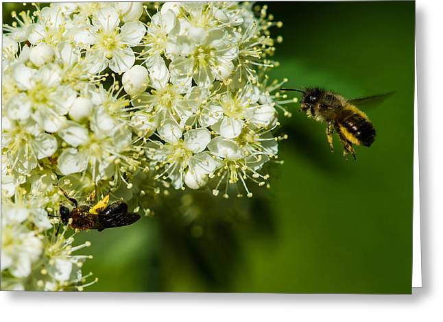 Two Bees On A Rowan Truss - Featured 3 Greeting Card by Alexander Senin