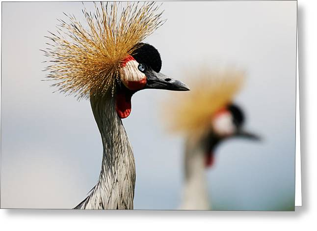 Two Black Crowned Cranes Greeting Card