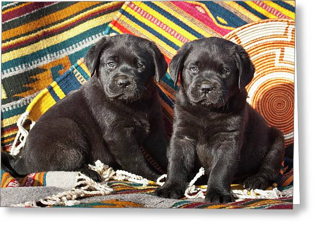 Two Black Labrador Retriever Puppies Greeting Card by Zandria Muench Beraldo