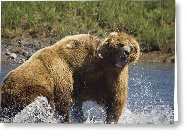 Two Brown Bears Fight Over Salmon At Greeting Card by Greg Hensel