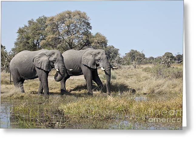 Two Bull African Elephants - Okavango Delta Greeting Card