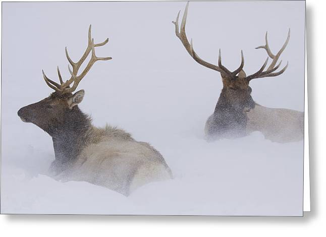 Two Bull Elk Lying In Deep Snow, Alaska Greeting Card by Doug Lindstrand