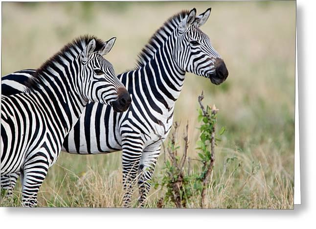 Two Burchells Zebras Equus Burchelli Greeting Card